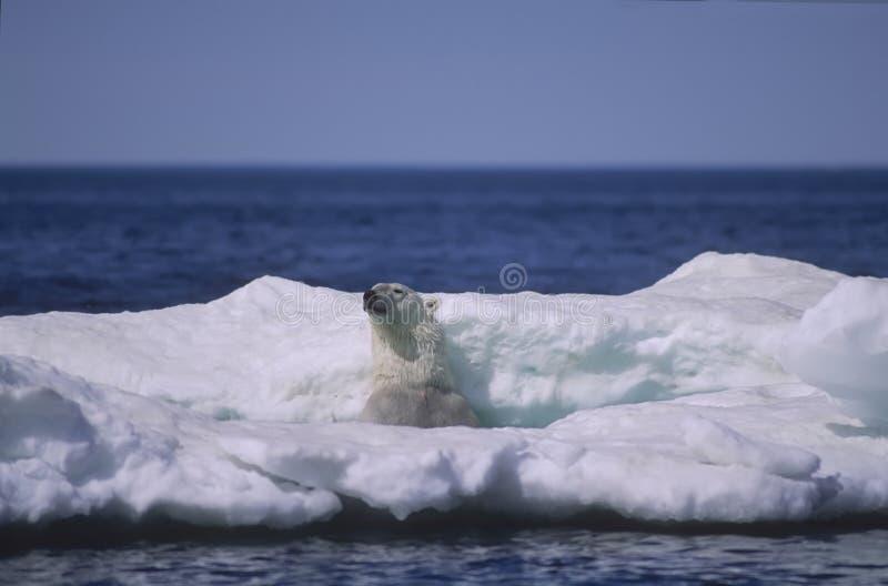 Orso polare nella banchisa galleggiante di ghiaccio fotografie stock libere da diritti