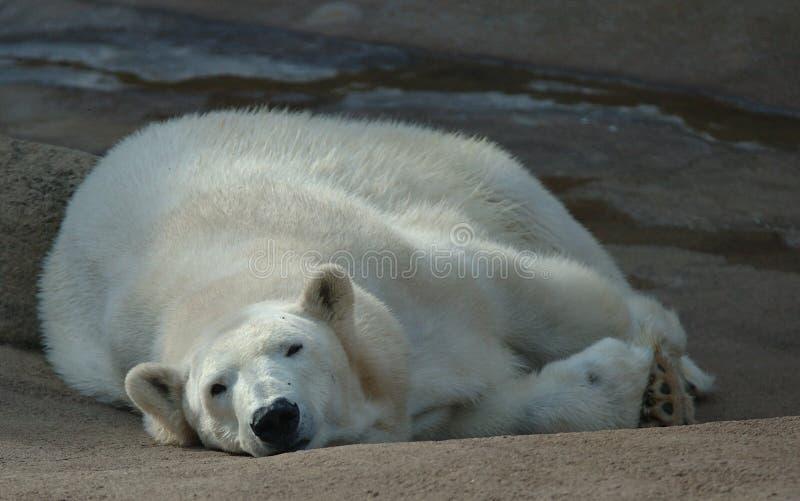 Orso polare pigro fotografie stock libere da diritti
