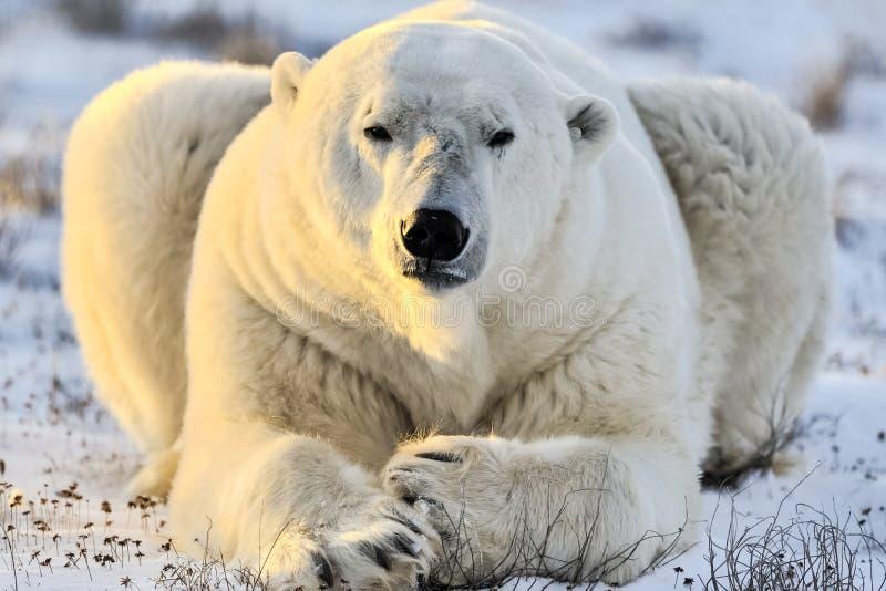 Orso polare, predatore artico nordico fotografia stock libera da diritti