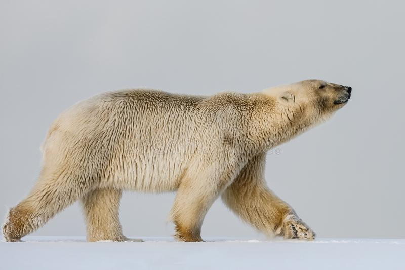 Orso polare, predatore artico nordico immagine stock