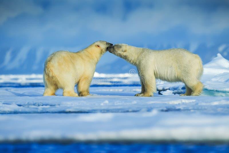 Orso polare, predatore artico nordico fotografia stock