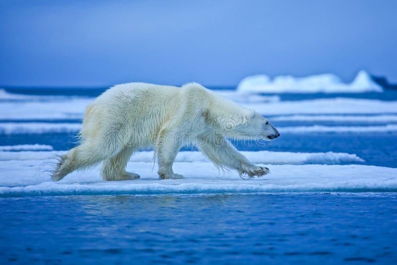 Orso polare, predatore artico nordico immagini stock