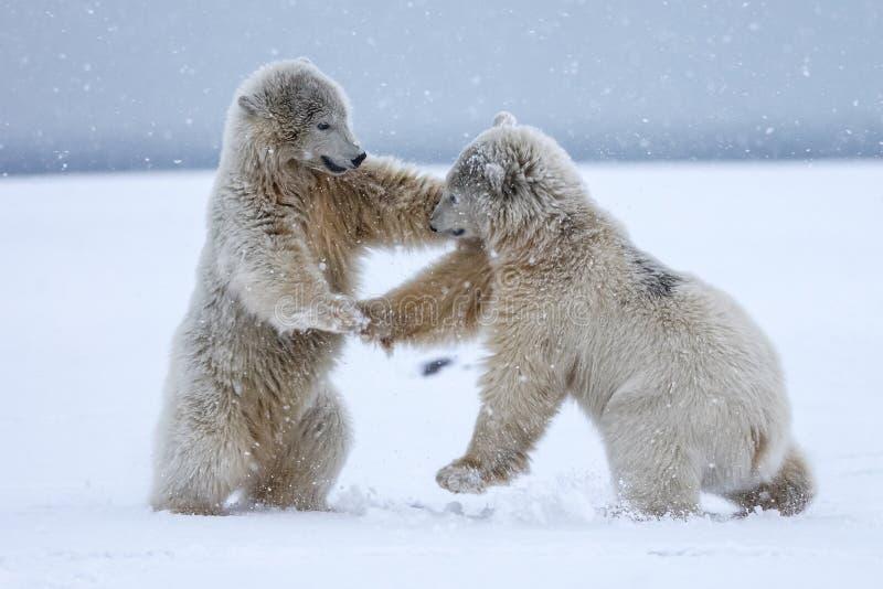 Orso polare, predatore artico nordico fotografie stock