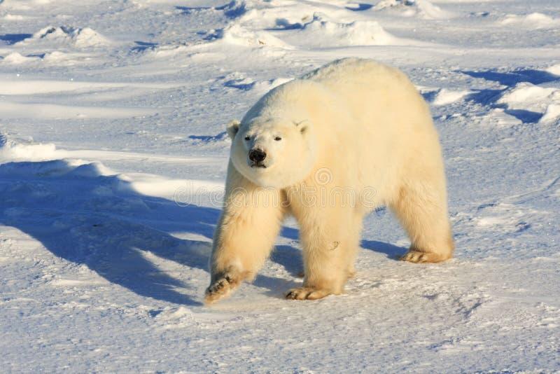 Orso polare sano fotografie stock libere da diritti