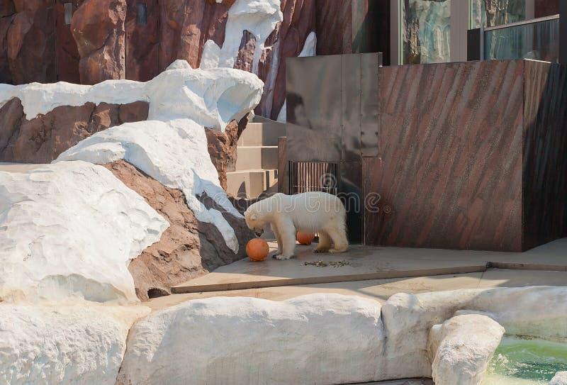 Orso polare (ursus maritimus) nello zoo di Ueno, Tokyo, Giappone immagini stock