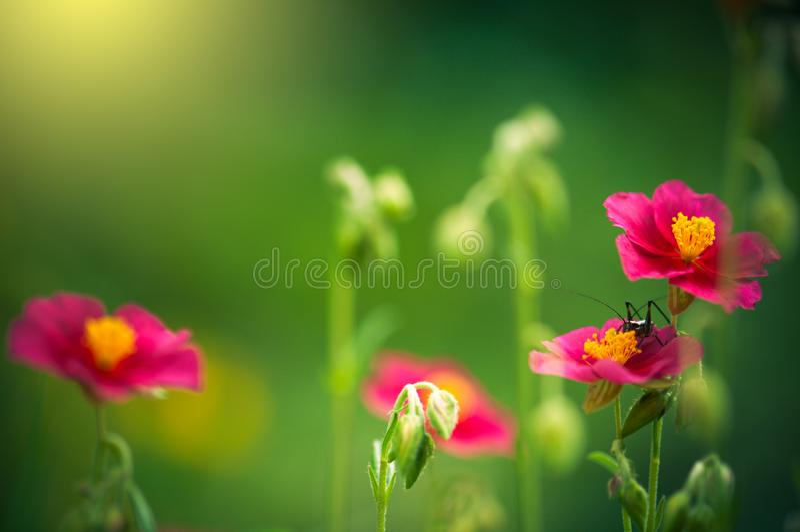 Ortópteros na flor cor-de-rosa da flor do woodsii de rosa no jardim Luz do sol da noite imagem de stock