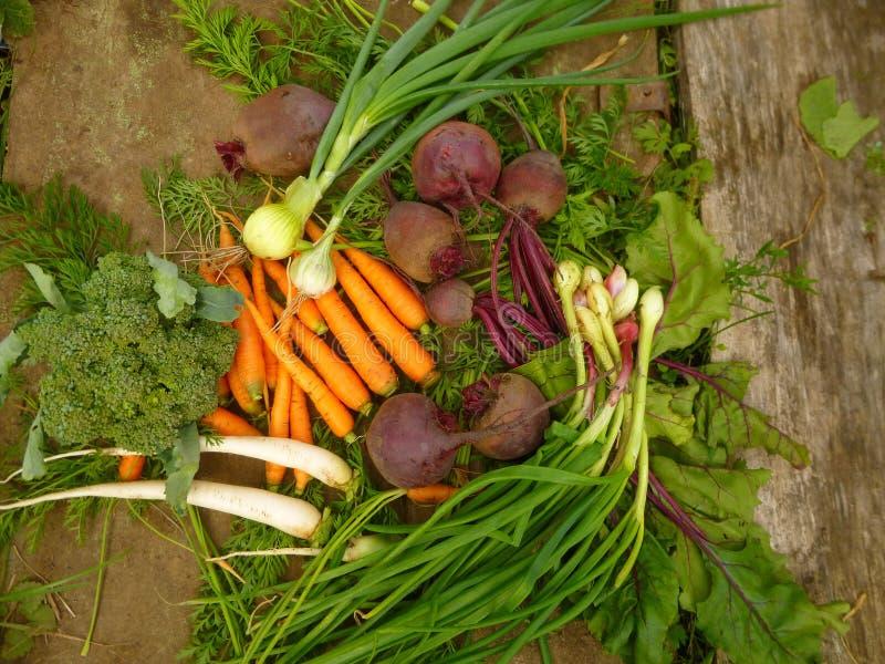 Ortaggi freschi: cipolla, barbabietole, carote, cavolfiore, ravanello immagine stock