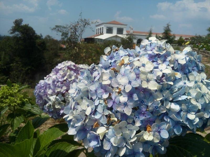 Ortencias στον κήπο στοκ εικόνα