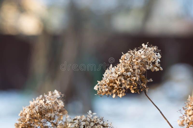 Ortensia asciutta del fiore spruzzata con neve fotografie stock