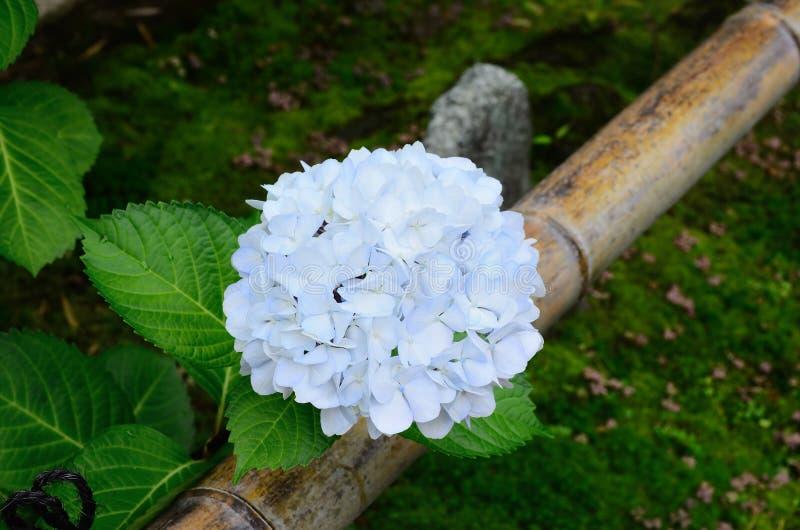 Ortensia bianca al giardino giapponese, Kyoto Giappone fotografia stock libera da diritti