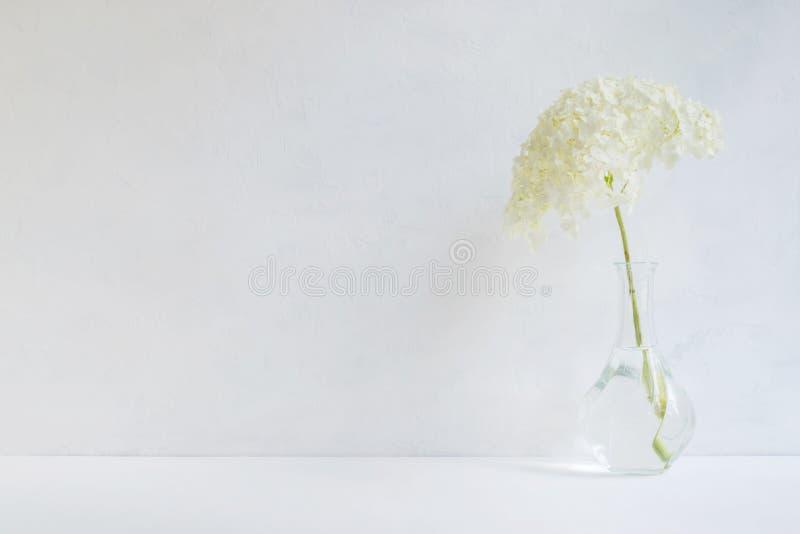 Ortensia del fiore bianco in un vaso fotografia stock libera da diritti