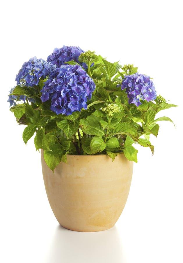Ortensia di fioritura in vaso di fiore isolato fotografia stock libera da diritti