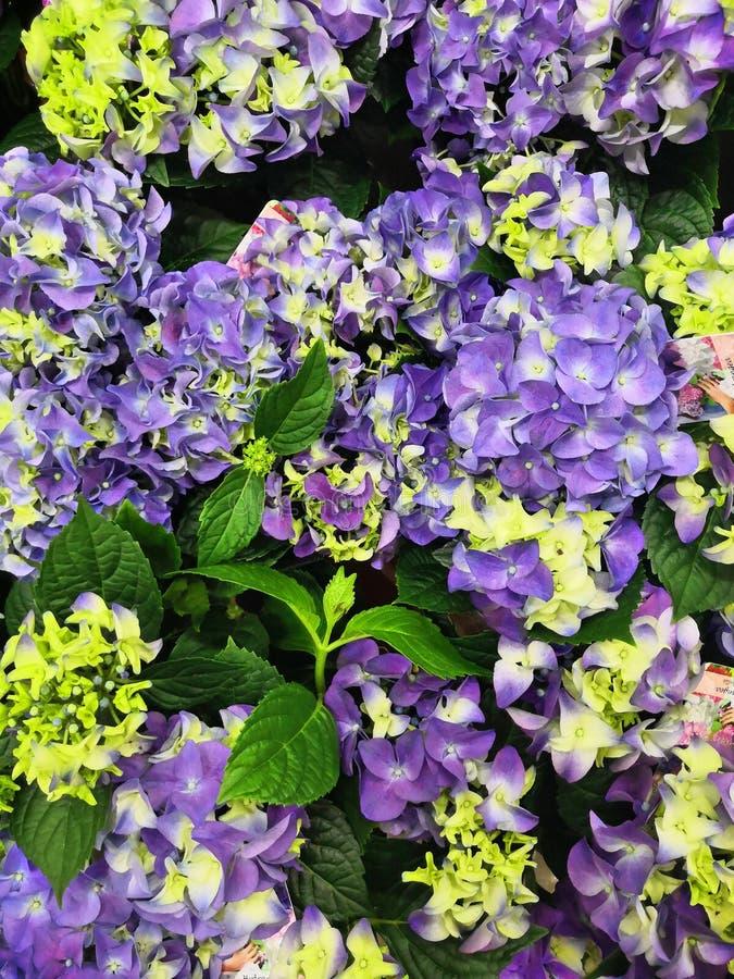Ortensia, fuoco molle, rumore aggiunto Bei fiori Bellezza in natura Macrophylla del Hydrangea immagine stock