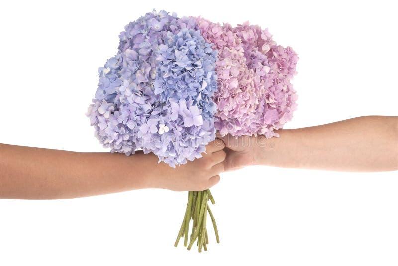 Ortensia rosa e blu del fiore in mani (percorso di ritaglio) fotografia stock