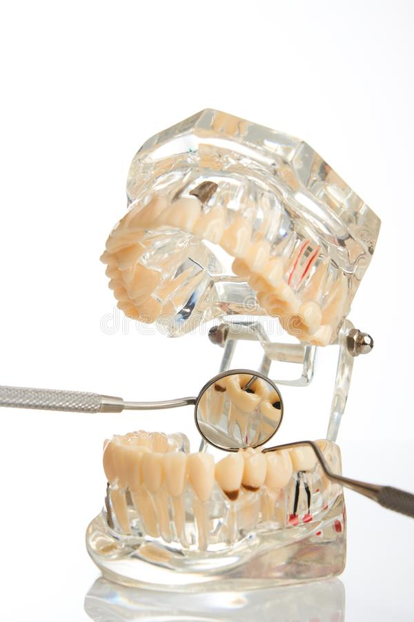 Orthodontic jaw model and dentist tool. Dental mirror isolated on white background, close-up. Student learning teaching model showing teeth, roots, gums, gum royalty free stock image