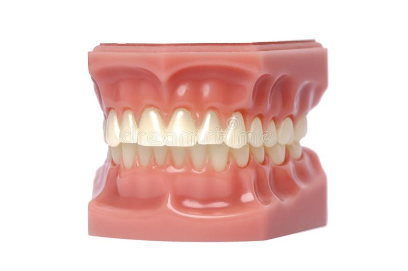 Orthodontic Model used in dentistry for demonstration and educational purposes. Cringed white teeth of a Orthodontic Model used in dentistry for demonstration royalty free stock photography