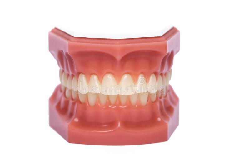 Orthodontic Model used in dentistry for demonstration and educational purposes. Front view of Orthodontic Model used in dentistry for demonstration and royalty free stock photos