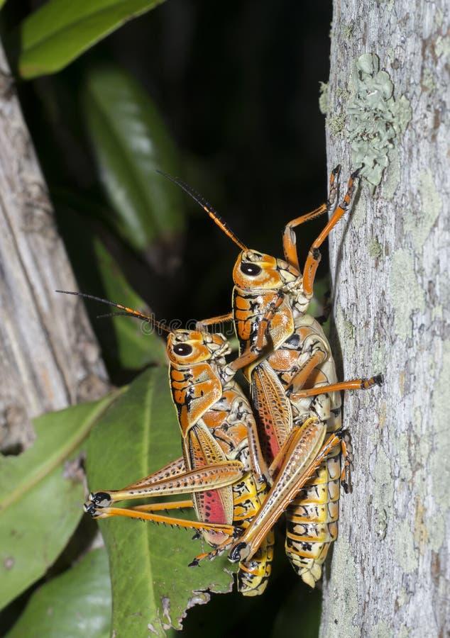 Orthoptera arkivbild
