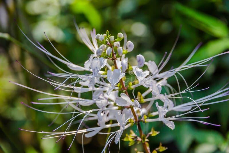 Orthosiphon aristatus (Blume) Miq arkivbild