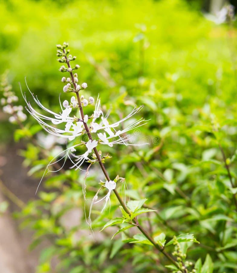 Orthosiphon grandiflorus in organic garden