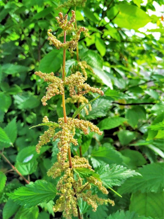 Ortica della pianta medicinale, primo piano dei semi, contro lo sfondo degli alberi verdi fotografia stock
