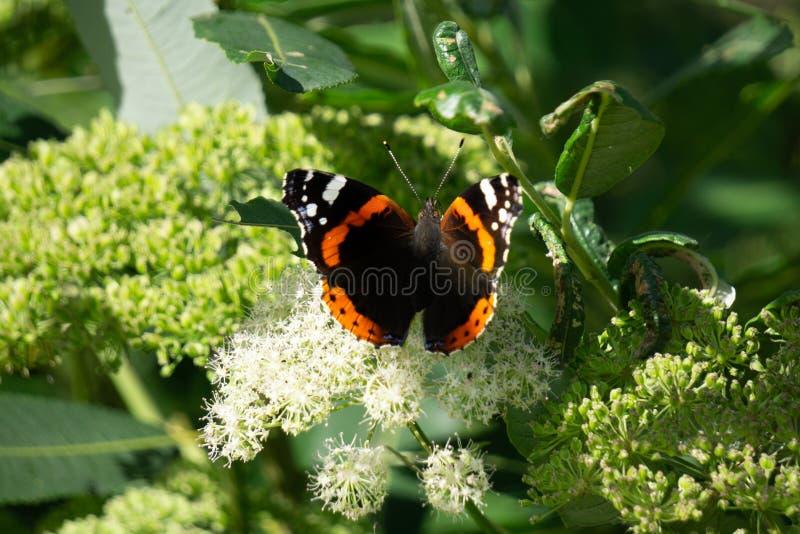 Orticaria arancio della farfalla su un'aiola luminosa fra i fiori del tagete fotografia stock libera da diritti