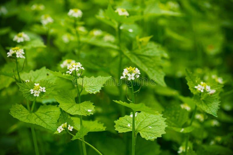 ortiche di fioritura fotografie stock libere da diritti