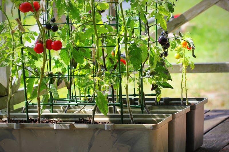 Orticoltura in contenitori Orto vegetale su una terrazza Pomodori rossi, arancioni, gialli e neri che crescono in contenitori fotografia stock libera da diritti