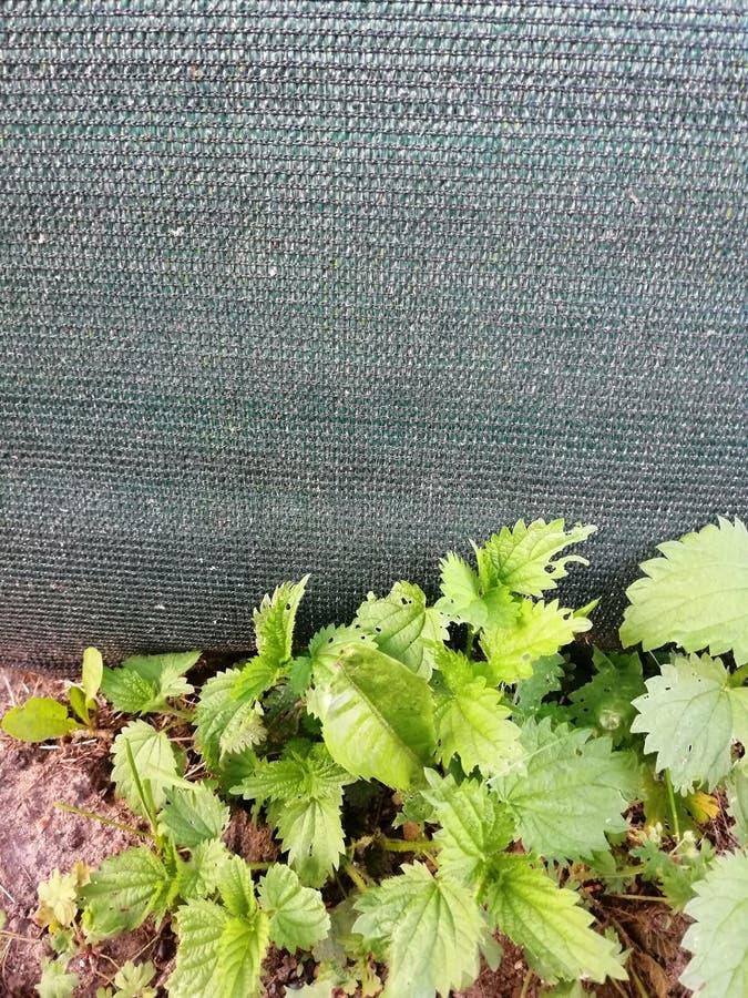 Ortie près de barrière verte en plastique de sunprotector photographie stock