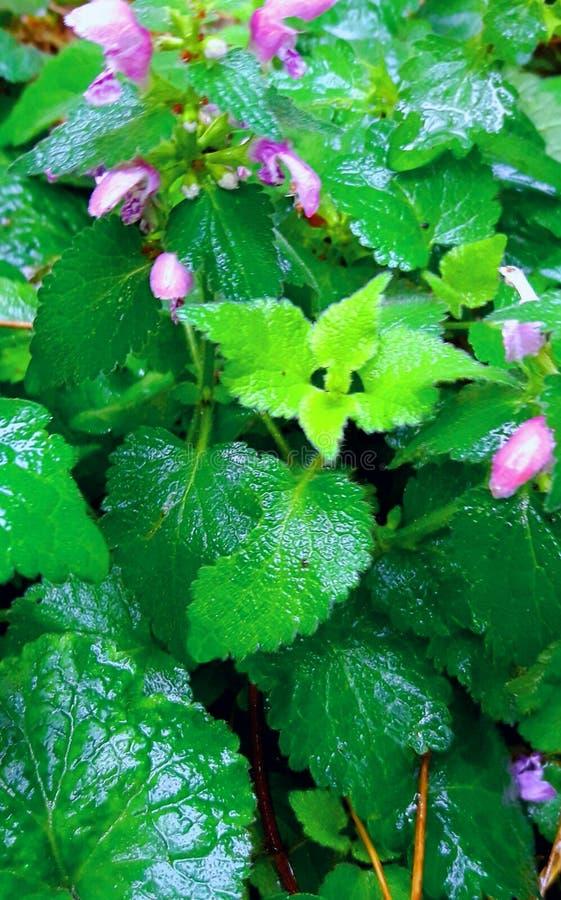 Orties blomma i regnet royaltyfria foton