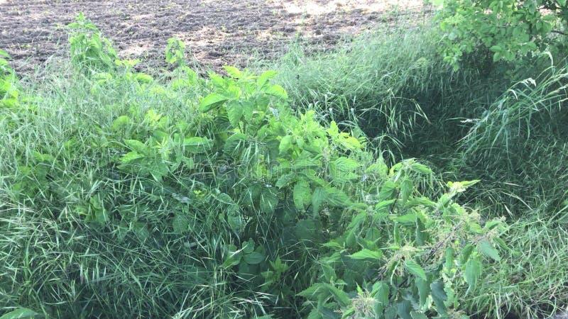 Ortiga de picadura con la hierba verde en fondo fotografía de archivo