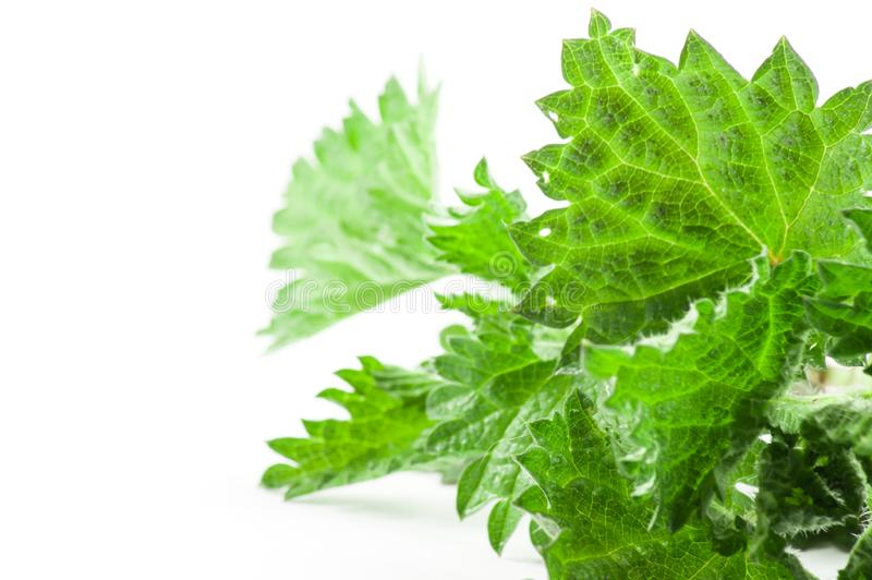 Ortiga del verde de las hojas imagen de archivo libre de regalías