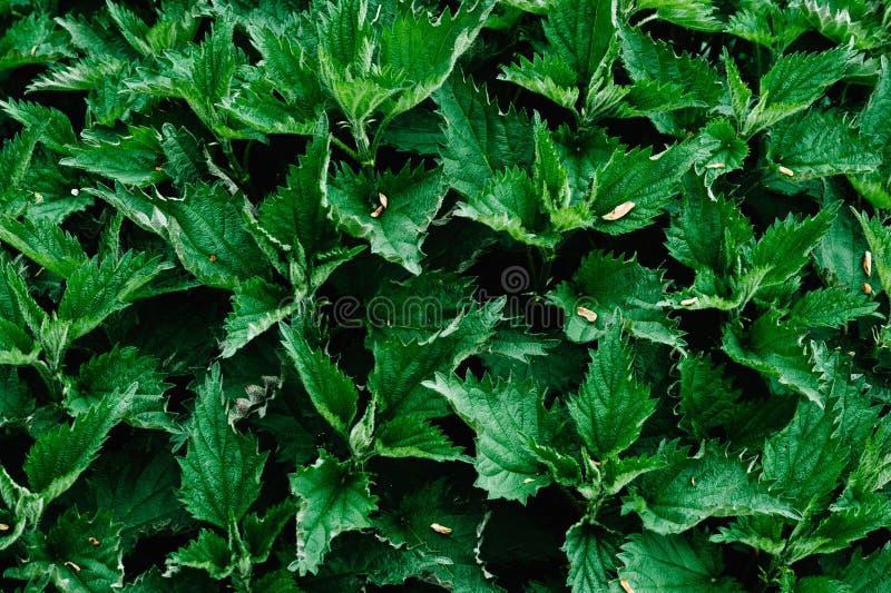 Ortiga fresca del fondo verde Diseño tacaño Textura stingi fotos de archivo