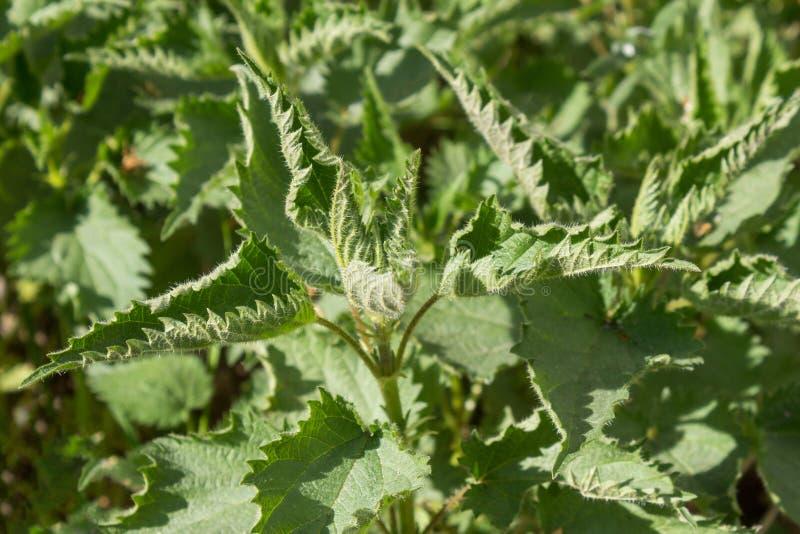 Ortigas de picadura /Urtica planta colorida y viva de thunbergiana/en el fondo natural fotografía de archivo libre de regalías
