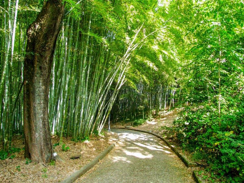 Bamboo forest in Botanical Garden in Rome. Orto Botanico dell`Università di Roma - La Sapienza. Bamboo forest in Botanical Garden in Rome in Italy. Photo royalty free stock images