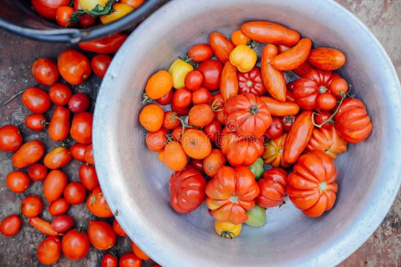 Orto con le piante dei pomodori rossi Pomodori maturi sulla a fotografia stock