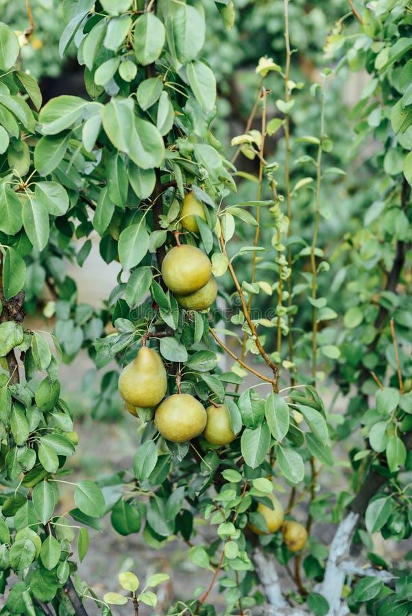 Orto con le piante dei pomodori rossi Pomodori maturi sulla a fotografie stock libere da diritti