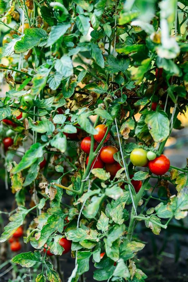 Orto con le piante dei pomodori rossi Pomodori maturi sulla a immagini stock libere da diritti