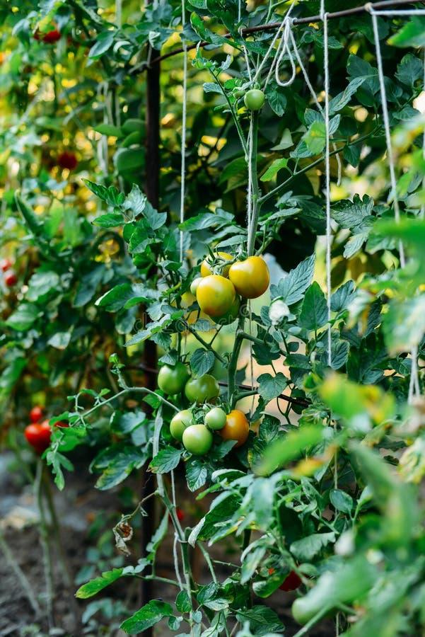 Orto con le piante dei pomodori rossi Pomodori maturi sulla a fotografie stock