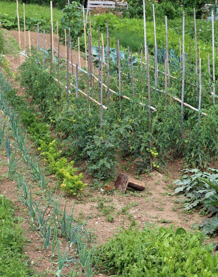 Orto per le verdure crescenti con il pomodoro e la cipolla pl fotografia stock libera da diritti