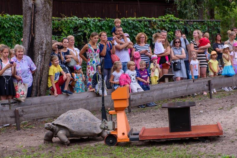 Ortoise nabij de weegmachine, tijdens het 19e jaarlijkse wegingsevenement Galápagos Tortoises in de dierentuin van Riga stock afbeelding