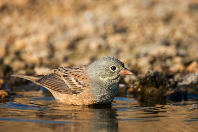 Ortolan Bunting Emberiza hortulana stands in the water royalty free stock photography