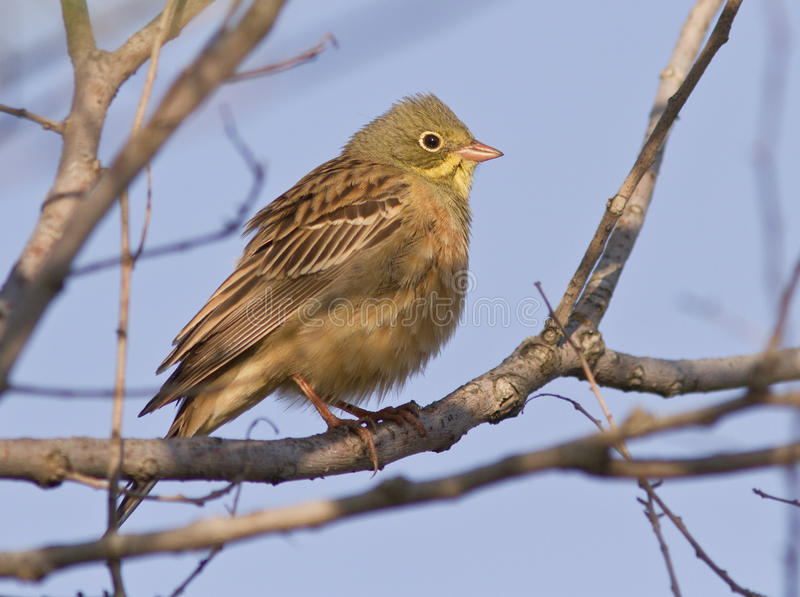 Ortolan Bunting male sitting on a branch. stock photo