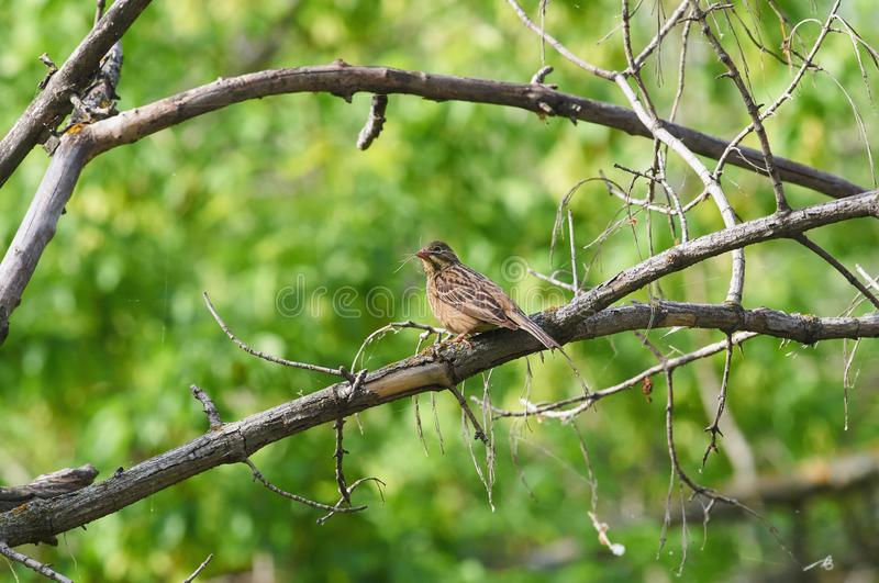 Ortolan sits on a branch with a bunch of blades of grass in its royalty free stock photos