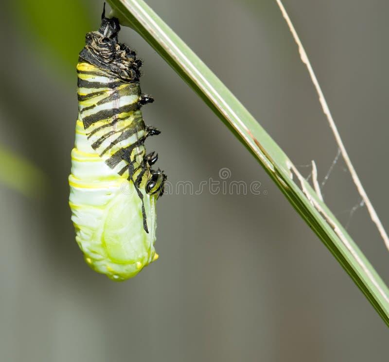 Oruga colgante del monarca imagenes de archivo