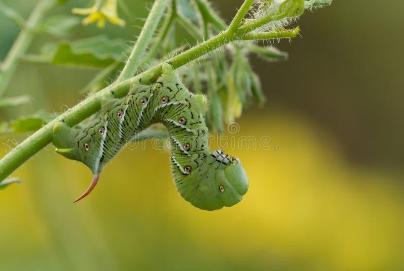 Oruga de Hornworm del tabaco (sexta de Manduca) en la planta de tomate imagenes de archivo