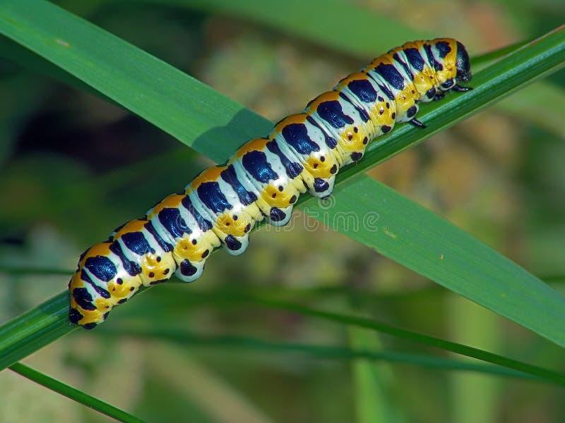 Oruga de los lactucae de Cucullia de la mariposa. imagen de archivo