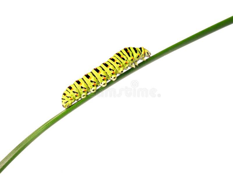Oruga de Swallowtail imagenes de archivo
