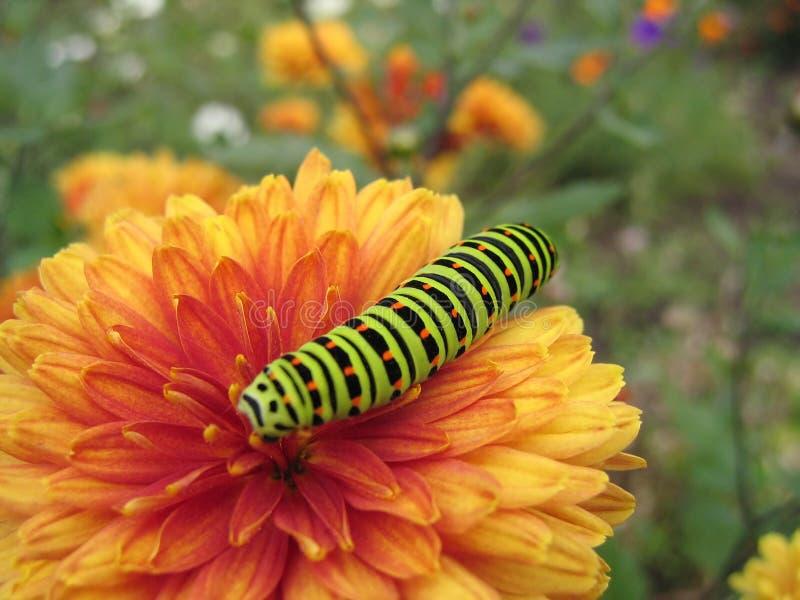 Oruga de Swallowtail imagen de archivo
