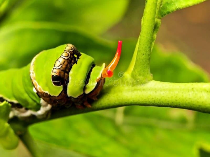 Oruga 2 de Swallowtail de la fruta cítrica imagenes de archivo